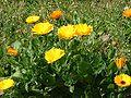 Souci Calendula officinalis.jpg