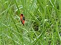 Southern Red Bishop (Euplectes orix) (13780806475).jpg