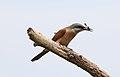 Southern carmine bee-eater, Merops nubicoides, Savuti marsh, Chobe National Park, Botswana (31650329123).jpg