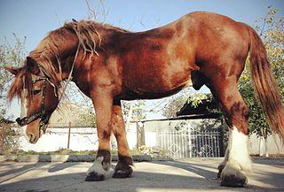 Soviet Heavy Draft draught horse breed of the former Soviet Union