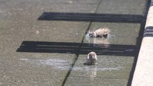 File:Sparrows bathing in fountain.gk.webm