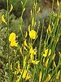 Spartium junceum (inflorescense).jpg
