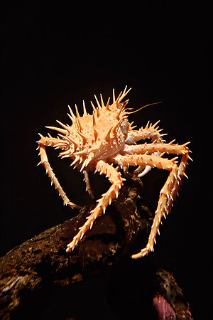 King crab - Paralithodes californiensis