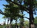 Spomenik prirode Ginko na Vračaru 11.JPG