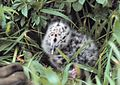Spotted gull chick hiding in the grass.jpg