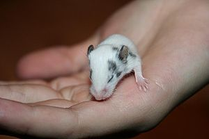 House mouse - A two-week-old fancy mouse, just about to open its eyes