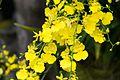 Spray of yellow orchids (27895537992).jpg