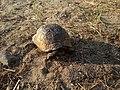 Spur-thighed tortoise in Mardakan, Azerbaijan 5.jpg