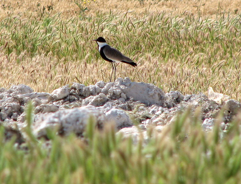 Payl:Spur-winged Lapwing.jpg