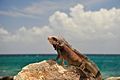 St Thomas Marriott Iguana 6.jpg