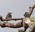 Stactolaema anchietae, Cuanavale-rivier, Birding Weto, a.jpg
