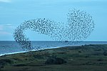 Starling Murmuration - RSPB Minsmere (21446738793).jpg