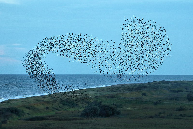 File:Starling Murmuration - RSPB Minsmere (21446738793).jpg
