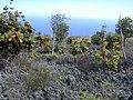 Starr-010714-0008-Bocconia frutescens-infestation-Auwahi-Maui (24532966265).jpg