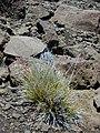 Starr-020625-0023-Deschampsia nubigena-habit-Kalahaku HNP-Maui (24182339959).jpg