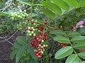 Starr-031108-0096-Schinus terebinthifolius-fruit-South Lido Beach-Florida (24556657182).jpg