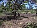 Starr-040127-0005-Schinus terebinthifolius-trimmed up-Kanaha Beach-Maui (24402014030).jpg