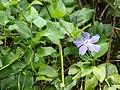 Starr-070621-7428-Vinca major-leaves and flowers-Oluolu Rd Kula-Maui (24594339920).jpg