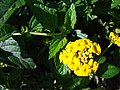Starr-080103-1330-Lantana montevidensis-flowers and leaves-Lowes Garden Center Kahului-Maui (24271398434).jpg