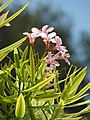 Starr-080531-4792-Nerium oleander-pink flowers and leaves-Charlie barracks Sand Island-Midway Atoll (24543140779).jpg