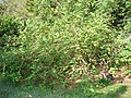 Starr-080601-5124-Solanum torvum-habit with Laysan albatross chicks-Community garden Sand Island-Midway Atoll (24543824029).jpg