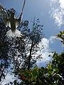 Starr-080608-7643-Terminalia catappa-habit with white terns-West Beach Sand Island-Midway Atoll (24916749545).jpg
