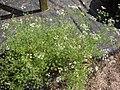 Starr-090601-8665-Coriandrum sativum-flowering habit-Ulupalakua greenhouse-Maui (24333984033).jpg