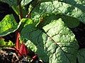 Starr-090801-3523-Beta vulgaris subsp cicla-habit in garden-Olinda-Maui (24343983673).jpg