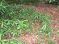 Starr-090804-3780-Macadamia integrifolia-leaves-MISC HQ Piiholo-Maui (24675791150).jpg