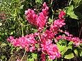 Starr-091020-8416-Antigonon leptopus-flowers-Enchanting Floral Gardens of Kula-Maui (24986556175).jpg