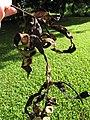 Starr-091104-8795-Adenanthera pavonina-seedpods-Kahanu Gardens NTBG Kaeleku Hana-Maui (24894776831).jpg