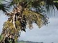 Starr-091104-8814-Livistona chinensis-fruit-Kahanu Gardens NTBG Kaeleku Hana-Maui (24870129572).jpg