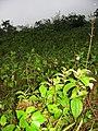 Starr-100211-1961-Clidemia hirta-habit-Waihee Valley-Maui (24713307630).jpg
