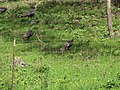 Starr-101005-9189-Triumfetta semitriloba-habitat with wild turkeys-Ulupalakua-Maui (24427608333).jpg