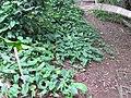 Starr-110218-1635-Syngonium podophyllum-habit-Ulana St Makawao-Maui (24781034340).jpg