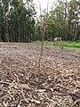 Starr-110222-1640-Prunus persica var persica-Red Baron flowering habit-Olinda-Maui (25076654235).jpg