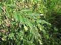 Starr-110307-2365-Sequoia sempervirens-needles-Kula Botanical Garden-Maui (24781277600).jpg