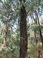 Starr-110615-6762-Eucalyptus sp-possibly paniculata leaves trunk and bark-By polo field Kealaloa Rd Olinda-Maui (24729548729).jpg