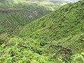 Starr-110827-8482-Musa x paradisiaca-Maia Maoli habitat-Waihee Ridge Trail-Maui (24985753042).jpg