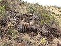 Starr-110920-9006-Holcus lanatus-habitat and pig dig-Waiale Gulch-Maui (24817614770).jpg