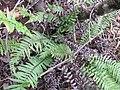 Starr-120425-5046-Doodia kunthiana-habit-Waikapu Valley-Maui (24772403489).jpg