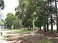 Starr-120510-5674-Lophostemon confertus-grove-Ka Hale Olinda-Maui (24511717214).jpg
