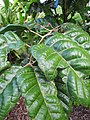 Starr-121108-0845-Canarium ovatum-leaves-Pali o Waipio-Maui (25078206382).jpg