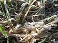 Starr-130307-1642-Holcus lanatus-habitat and frost-Greenhouse HNP-Maui (24579642983).jpg