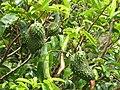 Starr-130312-2312-Annona muricata-fruit-Pali o Waipio Huelo-Maui (24580299023).jpg