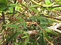 Starr-130318-2668-Mimosa pudica-habit-Kilauea Pt NWR-Kauai (25089534472).jpg