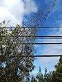 Starr-150108-3385-Caesalpinia decapetala-habit after control-Kekaulike Ave Kula-Maui (24637610843).jpg