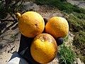 Starr-150326-0712-Citrus meyeri-fruit-Citrus Grove Town Sand Island-Midway Atoll (25148492442).jpg