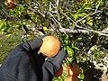 Starr-150326-0725-Citrus meyeri-fruit-Citrus Grove Town Sand Island-Midway Atoll (25148519632).jpg