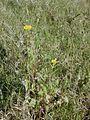 Starr 010520-0104 Sonchus oleraceus.jpg